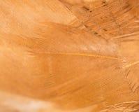 Un primer de las plumas rojas del pollo Imagen de archivo libre de regalías