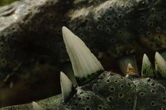 Un primer de los dientes del cocodrilo imagen de archivo libre de regalías