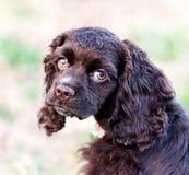 Un primer de un perrito de cocker spaniel del chocolate fotografía de archivo libre de regalías