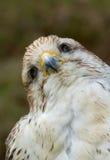 Un primer de un halcón Imagen de archivo libre de regalías