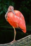 Un primer de un Ibis rojo Foto de archivo