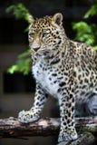 Un primer de un leopardo Imágenes de archivo libres de regalías