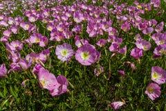 Un primer de un prado de Texas Pink Evening Primrose Wildflowers. Imágenes de archivo libres de regalías