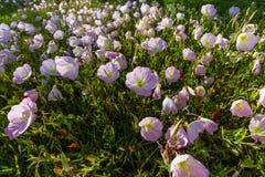 Un primer de un racimo de Texas Pink Evening Primrose Wildflowers en último Sun. Imagen de archivo