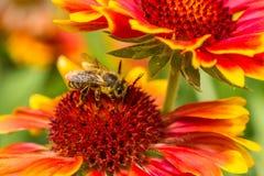 Un primer de una abeja Foto de archivo libre de regalías