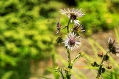 Un primer de una abeja de la miel en una margarita en un día soleado foto de archivo