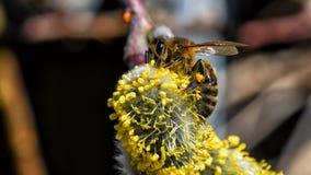 Un primer de una abeja recoge el néctar en un amento de un sauce Foto de archivo