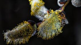 Un primer de una abeja recoge el néctar en un amento de un sauce Fotos de archivo libres de regalías