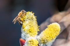 Un primer de una abeja recoge el néctar en un amento de un sauce Imágenes de archivo libres de regalías