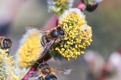 Un primer de una abeja recoge el néctar en un amento de un sauce Imagenes de archivo