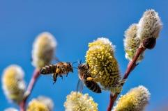 Un primer de una abeja recoge el néctar en un amento de un sauce Fotografía de archivo libre de regalías