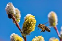 Un primer de una abeja recoge el néctar en un amento de un sauce Imagen de archivo