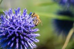 Un primer de una abeja recoge el néctar en una flor del aciano del prado Fotografía de archivo libre de regalías
