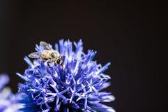 Un primer de una abeja recoge el néctar en una flor del aciano del prado Imágenes de archivo libres de regalías
