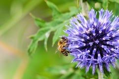 Un primer de una abeja recoge el néctar en una flor del aciano del prado Fotos de archivo