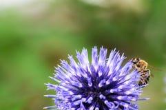 Un primer de una abeja recoge el néctar en una flor del aciano del prado Foto de archivo