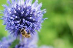 Un primer de una abeja recoge el néctar en una flor del aciano del prado Imagenes de archivo