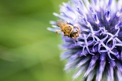 Un primer de una abeja recoge el néctar en una flor del aciano del prado Fotos de archivo libres de regalías