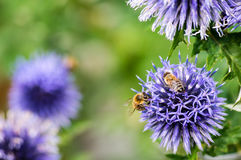 Un primer de una abeja recoge el néctar en una flor del aciano del prado Imagen de archivo libre de regalías