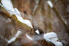 Un primer de una ardilla de árbol en un abrigo de invierno gris, Siberia, Rusia imagen de archivo