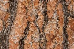 Textura de la corteza de árbol de pino fotografía de archivo libre de regalías