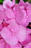 Un primer de una flor rosada de la hortensia Imagenes de archivo