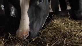 Un primer de una nariz de la vaca almacen de metraje de vídeo