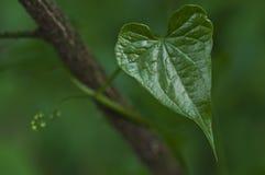 Un primer del corazón verde de la hoja en la naturaleza fotos de archivo
