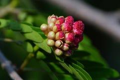 Un primer del flor-brote persa del árbol de seda Imágenes de archivo libres de regalías