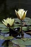 Un primer del lirio de agua Imagenes de archivo
