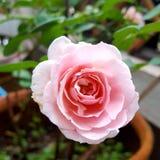 Un primer del rosa de la floración subió en el jardín fotos de archivo libres de regalías