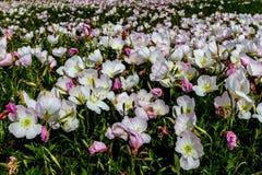 Un primer granangular de un campo lleno con centenares de Texas Pink Evening Primrose Wildflowers rosado imagenes de archivo