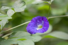 Un primer, imagen macra de una flor del guisante púrpura imagen de archivo