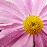 Un primer púrpura del aster del crisantemo Imagenes de archivo
