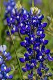 Un primer tiró de un par de Texas Bluebonnet Wildflowers famoso. Fotos de archivo libres de regalías