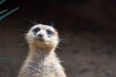Un primer tirado de una cabeza de los meerkats mientras que situación y el ser reloj fotografía de archivo