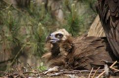 Un primo piano Cinereous di allevamento dell'avvoltoio Fotografie Stock Libere da Diritti