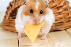 Un primo piano del criceto mangia il formaggio Immagini Stock Libere da Diritti