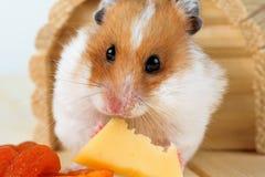 Un primo piano del criceto mangia il formaggio Fotografia Stock Libera da Diritti