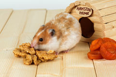 Un primo piano del criceto mangia una noce dalla sua casa Fotografie Stock