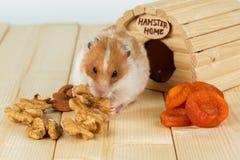 Un primo piano del criceto mangia una noce dalla sua casa Immagini Stock Libere da Diritti