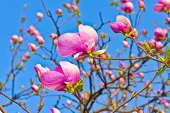 Un primo piano del fiore della magnolia Fotografie Stock Libere da Diritti