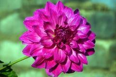 Un primo piano del fiore rosa della dalia immagini stock