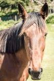 Un primo piano del ritratto del cavallo con fondo molle fotografia stock libera da diritti