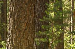 Un primo piano del tronco del pino con il pino nei precedenti Fotografia Stock