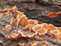Un primo piano della corteccia bianca Brown della putrefazione si espande rapidamente su un albero caduto fotografia stock