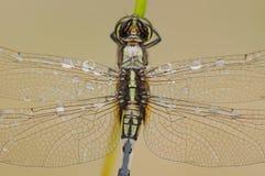 Un primo piano della parte posteriore della libellula Fotografia Stock