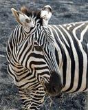 Un primo piano della zebra della testa che mastica erba nel cratere di Ngorongoro in un'area dell'ustione di controllo Fotografia Stock