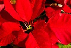 Un primo piano delle foglie rosse della stella di Natale fotografia stock libera da diritti