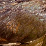 Un primo piano delle piume del pollo Fotografie Stock Libere da Diritti